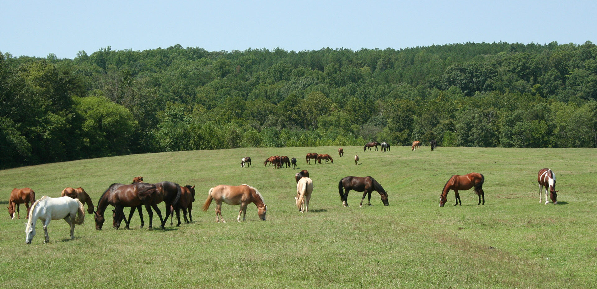 Horses grazing in open pasture of Camp Friendship's Horseback Riding Camp