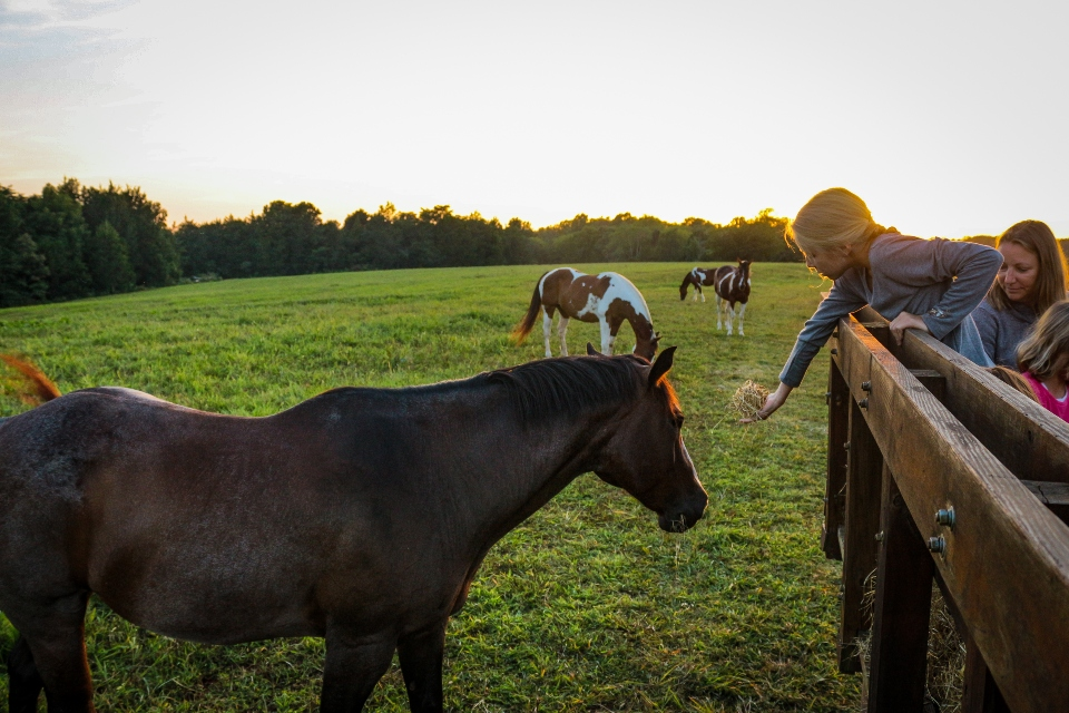Girl feeding hay to horses on sunset hayride