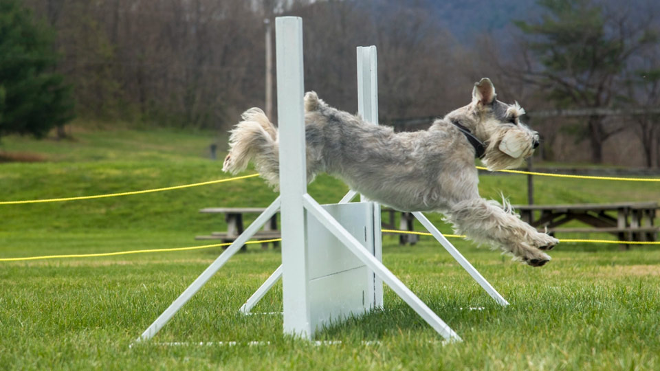 Volhard Dog Training Camp do jumping over hurdle